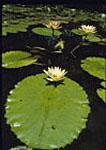 Tropical Lily Pond