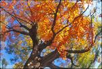 Maple Colours