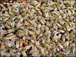 Bee Mania