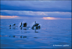 Orca Evening