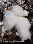 Cotton Dew