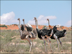 Ostriches in the Kalahari.