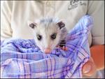 Baby Possum.