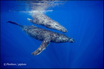 Humpback Whales 10297