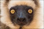 Verreaux's Sifaka - Lemur