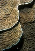 Sheet Coral Interpretations