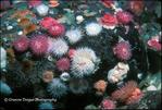 Brooding or Proliferating Anemones