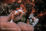 Opalescent nudibranch and eggs