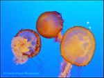 Pacific Sea Nettles!