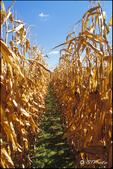 Corn Rows!