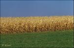 Corn Layers