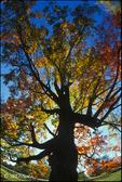 Fall Oak (v)