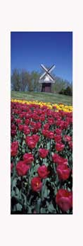Small windmill and tulips at the Tulip Time Festival