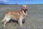 Beau - golden retriever in grassy field
