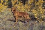Golden Retriever in the Aspens of Colorado