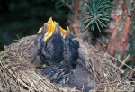 Baby robins in their nest in a pine tree