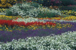 Bands of color planted in a garden