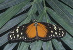 Butterfly, Heliconiidae