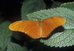 Butterfly, Julia