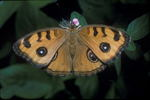 Tropical Buckeye Butterfly