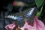 Sylvia Parthenos Butterfly