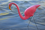 Pink Flamingo in the Rio Grande, New Mexico