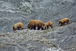 Brown bear and cubs in Glacier Bay National Park, Alaska