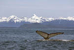 Humpback whale shows his tail, Icy Straits, Alaska
