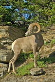 Rocky Mountain Bighorn sheep, Logan Pass, Glacier NP, Montana