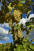 El Dorado Grapes, Madrona Vineyards, California