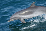 Bottlenose dolphins breaching along the water