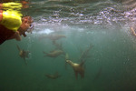 Snorkelers swimming with sea lions playing in Los Islotes Sea of Cortez Baja Mexico