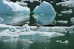 Harbor Seals sitting on top of an iceberg in Tracy Arm Alaska