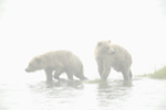 Grizzly bear cubs at waters edge.