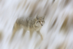 Coyote in winter snow.  Yellowstone National Park, Wyoming.