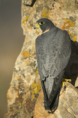 Perigrine Falcon(Falco pereginus) roosting on rock face.