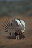 Male sagegrouse displaying during breeding season on seasonal strutting ground in spring.  Wyoming.