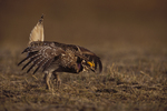 Male Sharp-tailed Grouse performing mating display on spring dancing ground.  Wyoming.
