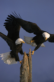 Bald eagles in flight.