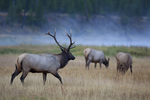 Bull elk bugling and gathering up his harem of cows.  Madison River.  Yellowstone National Park, Wyoming.