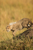 Cheetah and young in the Masai Mara National Reserve. Kenya, Africa.