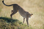 Cheetah stalking in tall grass in the Masai Mara National Reserve. Kenya, Africa.