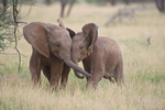 Young African elephants plauying in Samburu National Reserve. Kenya, Africa.
