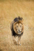 male african lion with main.  Masai Mara National Reserve. Kenya, Africa.