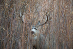 Mule deer buck in fall rut hiding in willow thicket.  Wyoming.