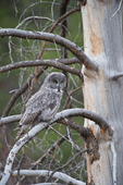 Great Grey Owl in Grand Teton Natioanal Park, Wyoming.