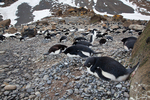 Adelie Penguins at Brown Bluff, Antarcita.