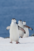 Chinstrap Penguins(Pygoscelis antarctica) at Half Moon bay, Anarctica,