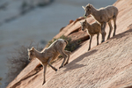 Bighorn Sheep lambs in Zion National Park, Utah.
