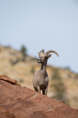 Bighorn Sheep ram in Zion National Park, Utah.